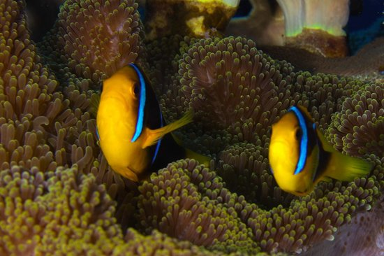 Taveuni Ocean Sports: Orange Fin Anemonefish