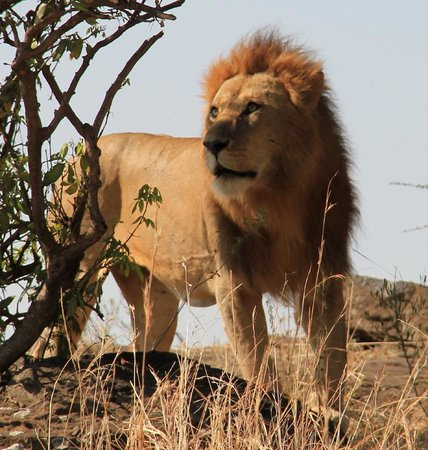 andBeyond Bateleur Camp: Magnificent Lion in the Masai Mara