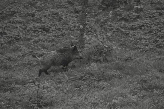Fattoria Barbialla Nuova: More boar