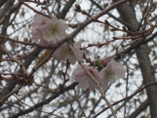 Marugame Castle: 11月なのに桜が咲いていました