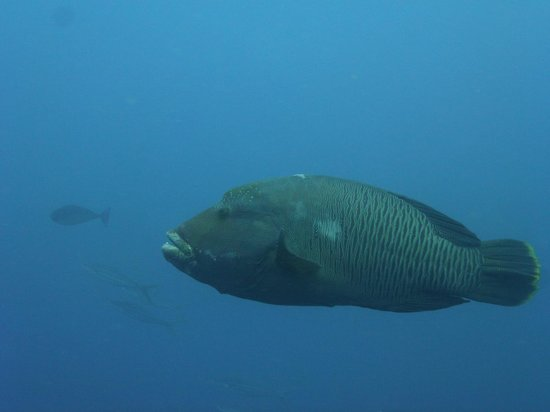 Komodo Aqua Diving : Humphead Wrasse - Batu Balong