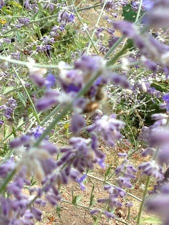 Calistoga Ranch, An Auberge Resort: lavender honey bees