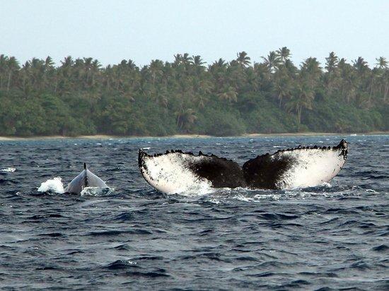 Matafonua Lodge: Whale swimming and watching!