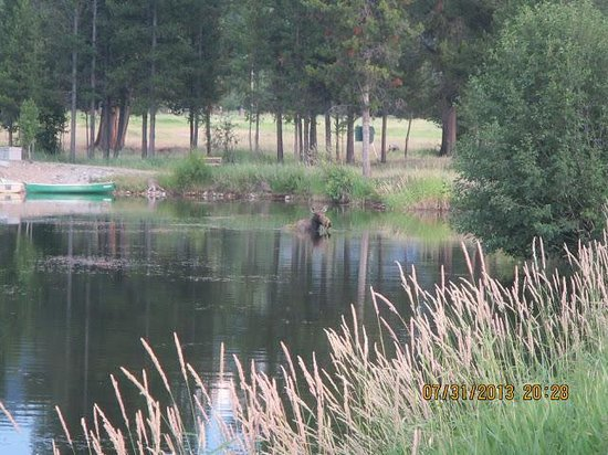 Alta Ranch: Moose at the ranch pond