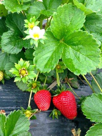 Redberry Farm: Perfect strawberries