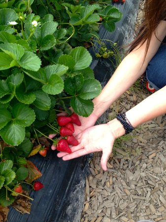 Redberry Farm: Picking patch