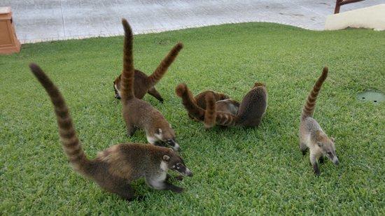 animal between raccon and monkey lol (harmless) - Picture ... |Grand Bahia Principe Tulum Animals