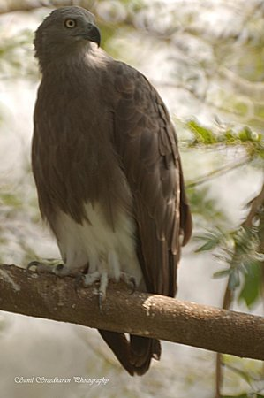 Suhashini Palace: The Fish Eagle at the Bird Sanctuary