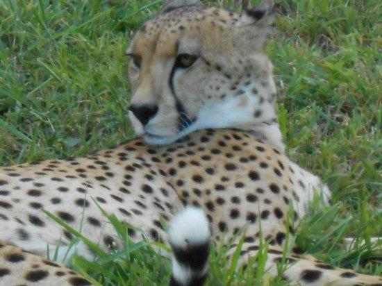 Durban Day Safaris: petting a cheetah
