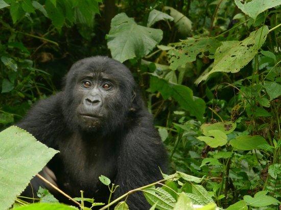 Clouds Mountain Gorilla Lodge: Gorillawanderung