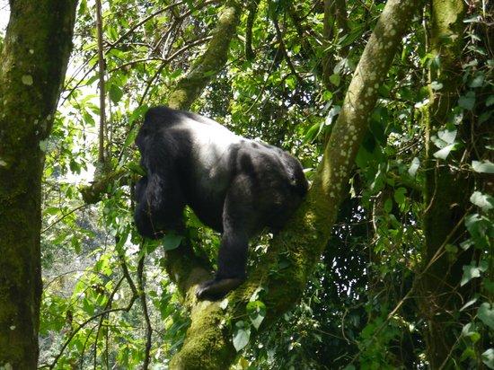 Clouds Mountain Gorilla Lodge: Gorilla
