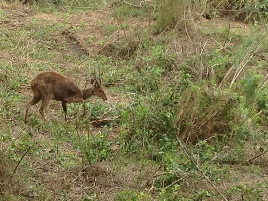 Skukuza Rest Camp: bushbuck just over the fence