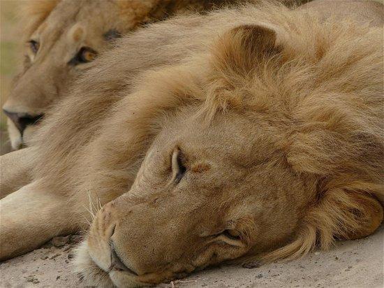 Kanana Camp: leoni