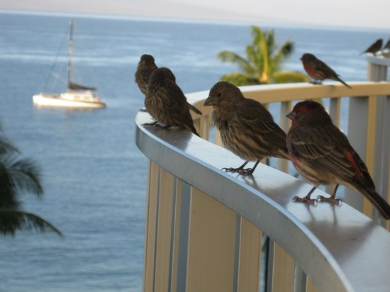 Westin Maui Resort And Spa: Birds visited in the morning