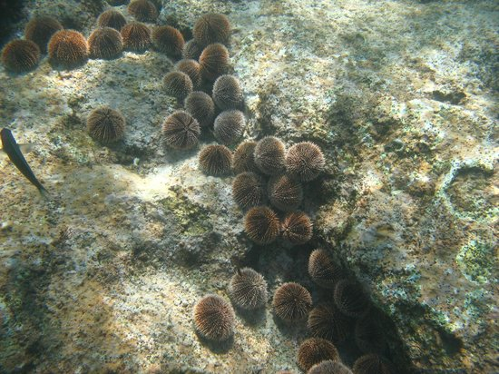 Chileno Beach: Some type of urchin?