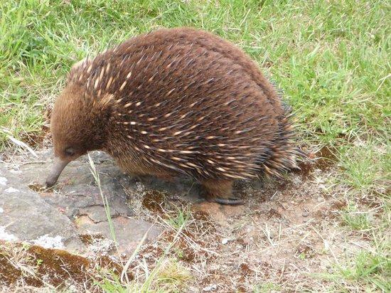 Blackstone Heights, Úc: Wildlife around the  South Esk river area