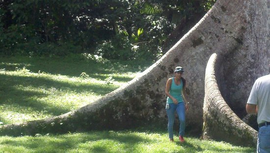 Yute Expeditions Day Tours: Trees grow big in Belize! Just the base...