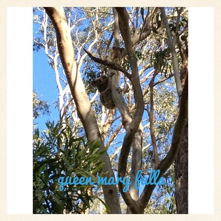 Queen Mary Falls Caravan Park & Cabins: Mother and baby koala in the caravan park