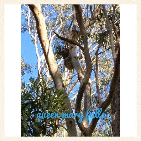 Queen Mary Falls Caravan Park & Cabins : Mother and baby koala in the caravan park