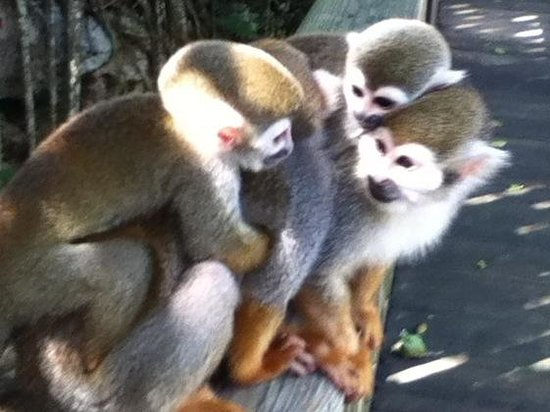 Zip Line at Monkey Jungle: Monkeys with babies