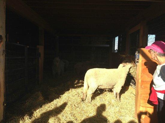Farm Sanctuary: sheep barn