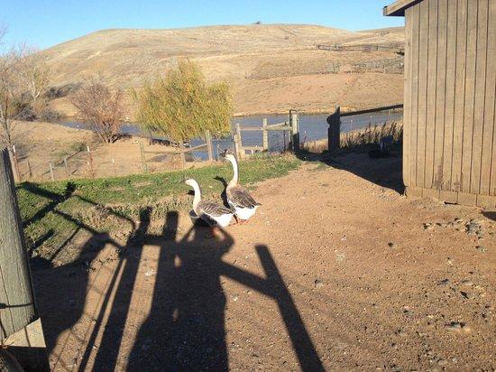 Farm Sanctuary: geese