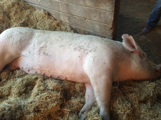 Farm Sanctuary : pig