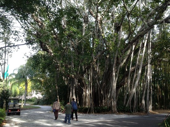 The Ringling : The Banyon tree!