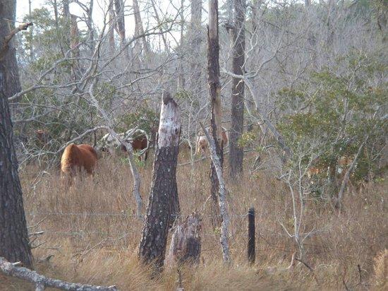 Chincoteague National Wildlife Refuge : Ponies!