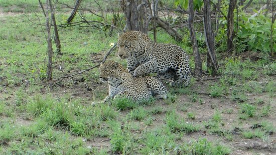 Dulini Lodge: Leopards Mating!