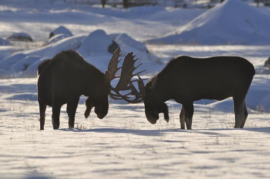 Western Riviera Lakeside Lodging & Events: Winter shot of Bull Moose