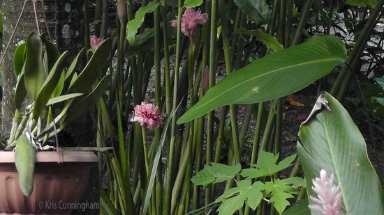 Cabinas Tropicales: A pretty ginger in bloom.