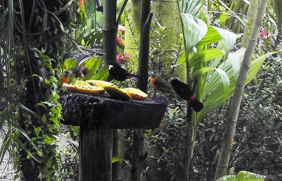 Cabinas Tropicales: Some of the birds that visited one of the feeders.