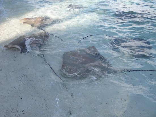 Vivanta by Taj Coral Reef Maldives: Stingrays on the beach