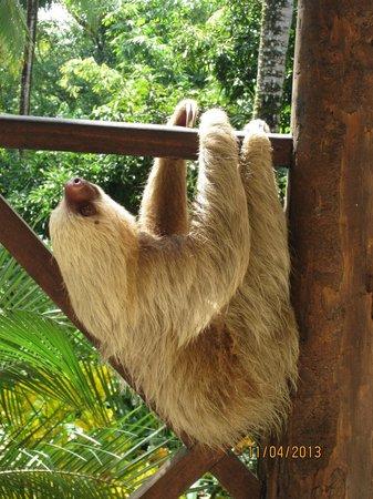 Falls Resort at Manuel Antonio: 2 toed sloth on decking