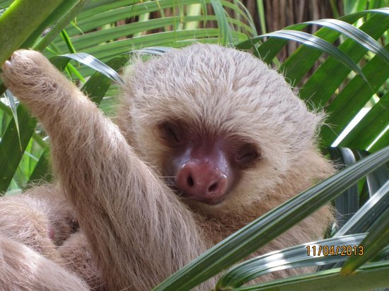 Falls Resort at Manuel Antonio: 2 toed sloth