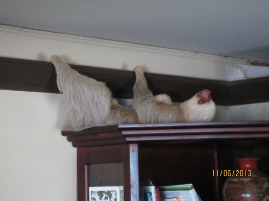 Falls Resort at Manuel Antonio: 2 toed sloth on the lobby bookcase