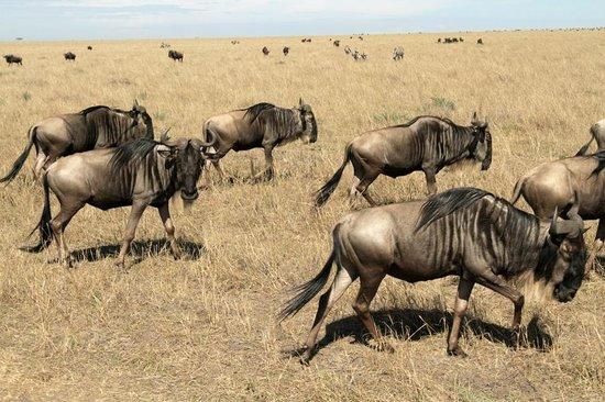 Chalkoko Safaris : Wildebeest at Masai Mara National Reserve