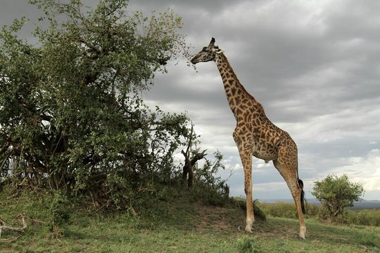 Chalkoko Safaris : Giraffe at Masai Mara National Reserve
