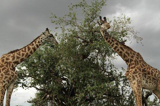 Chalkoko Safaris : Giraffes at Masai Mara National Reserve