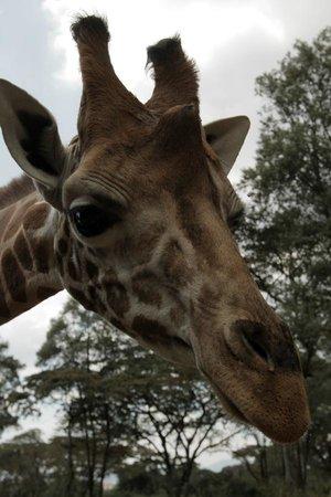Chalkoko Safaris : Cute Giraffe