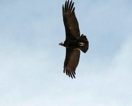 Escaped to Latin America: Colca canyon tourn-Condor