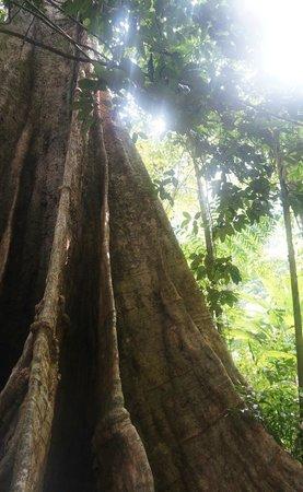 Phuket Sail Tours: The Thousand Year Old Tree