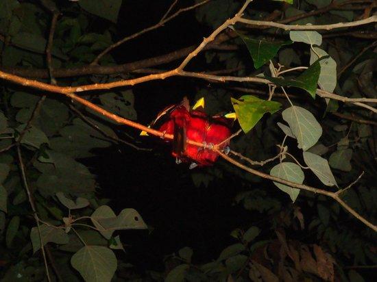 Sukau Rainforest Lodge: Black and red broadbills