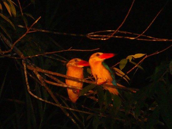 Sukau Rainforest Lodge: Stork billed kingfishers