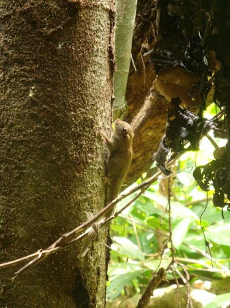 Sukau Rainforest Lodge: Pygmee squirrel