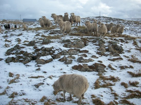 Whiteness, UK: bonnie sheep