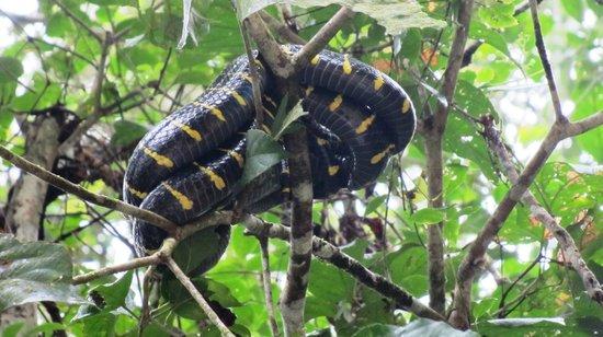 Kinabatangan Riverside Lodge : Mangrove snake