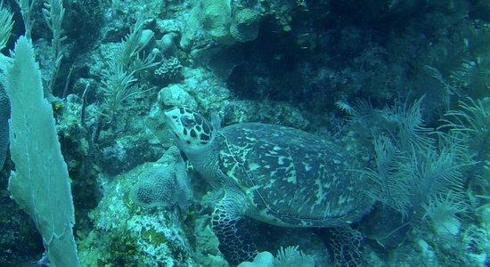 Belize Underwater : Turtle