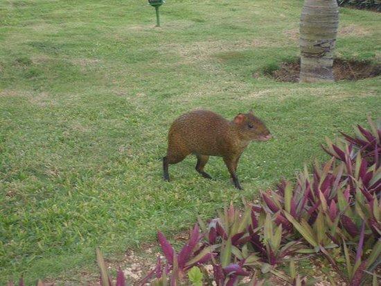 Capybara! - Picture of Grand Bahia Principe Tulum, Akumal ... |Grand Bahia Principe Tulum Animals